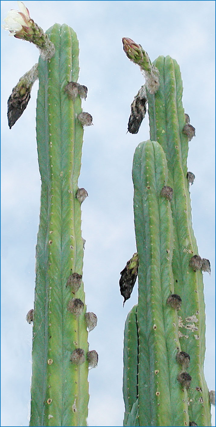 San Pedro Cactus For Sale